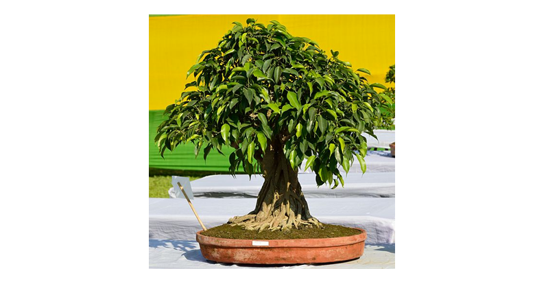 An Introduction to Artificial Ficus Trees