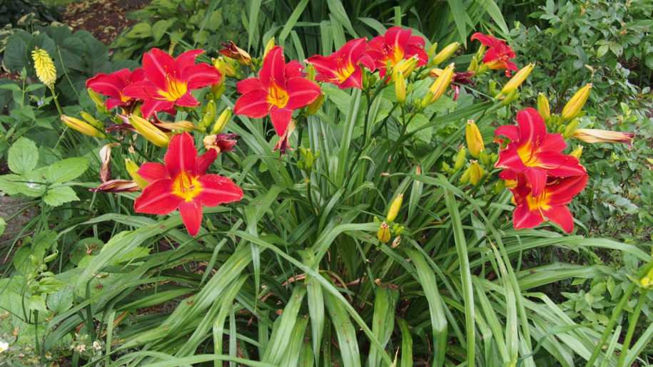 Red Daylillies